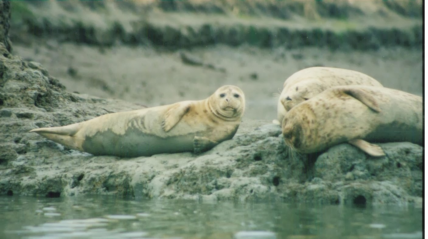 a study on the harbor seals Trilobites hundreds of seals are dying on the new england coast deaths of gray and harbor seals, in much greater numbers than usual, have been attributed to viruses related to distemper and the flu.