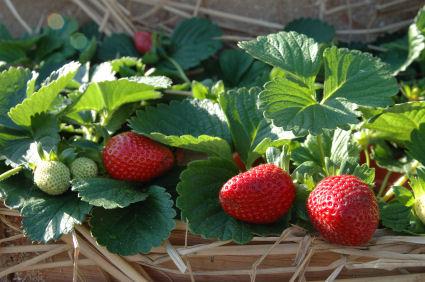 How To Grow Strawberries The Garden Of Eaden