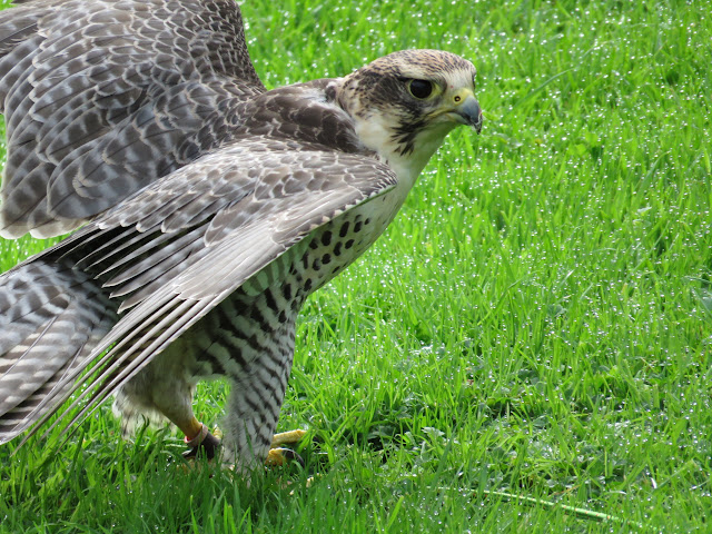 Falcon at Mount Falcon Estate in County Mayo, Ireland