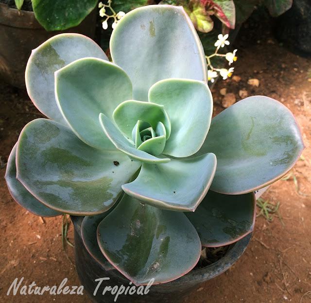 Variedad natural de la especie Echeveria gibbiflora llamada Echeveria gibbiflora var. metallica