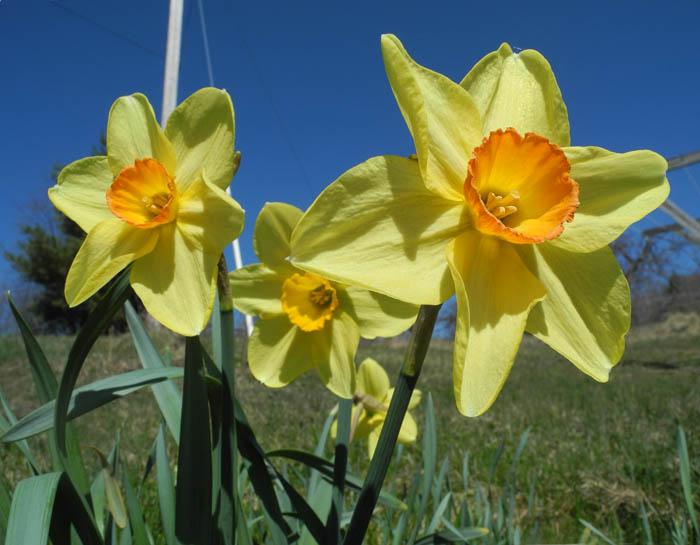 daffodil - photo #42