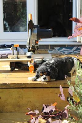 cavalier king charles spaniel builder dog