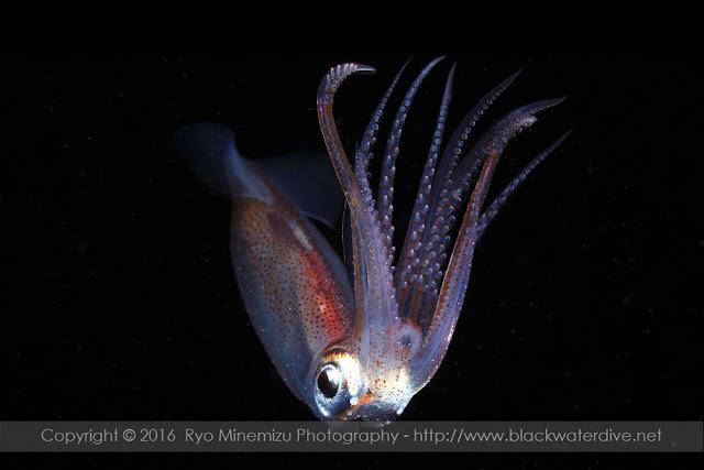 フィリピンホタルイカ Abralia (Abralia) spaercki