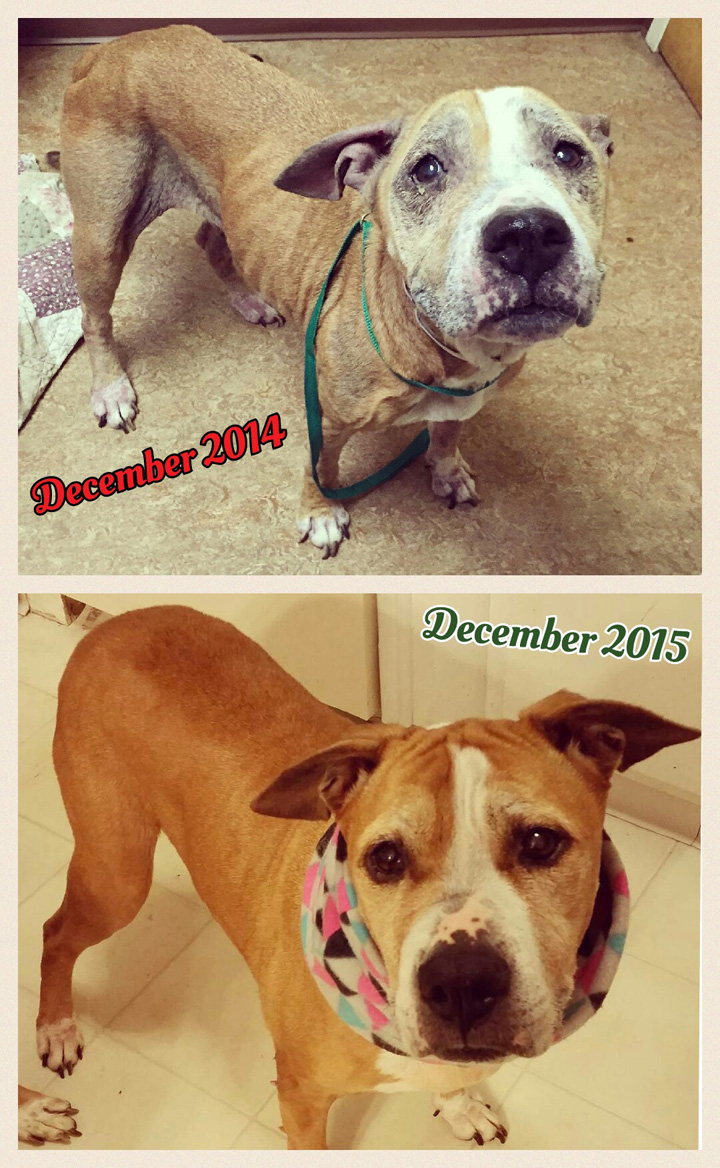 Diamond, the rescued senior pit, before and after and why adopting a senior dog