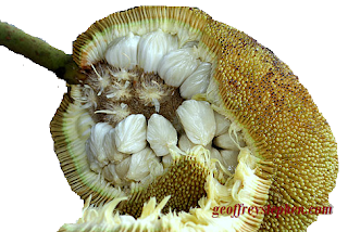 Tarap Fruit, Popular in Northern Borneo