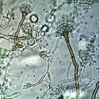 Apergillus nidulans