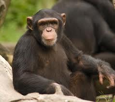 Hasil gambar untuk simpanse