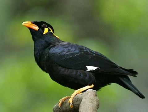 Mengetahui Tips Dan Cara Proses Penjinakan Burung Beo Muda Hutan Paling Lengkap Kicau Mania