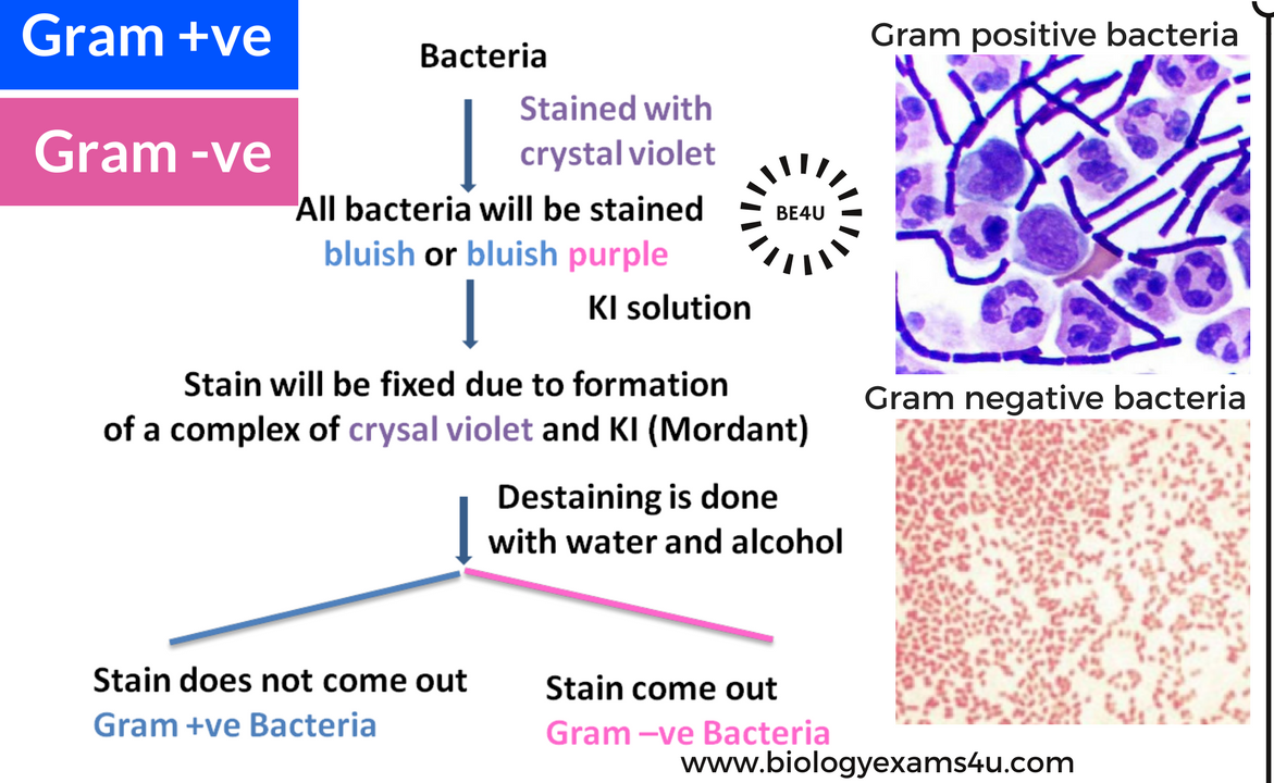 bacterial classification by gram staining Gram staining colours the bacteria either purple, in which case they are referred  to as gram positive, or pink which are known as gram.
