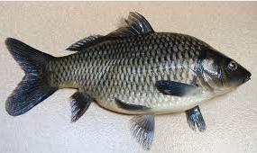 ikan mas baik untuk ibu hamil