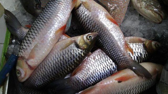 Budidaya Ikan Jelawat di kolam