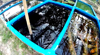 Budidaya ikan cupang di media kolam