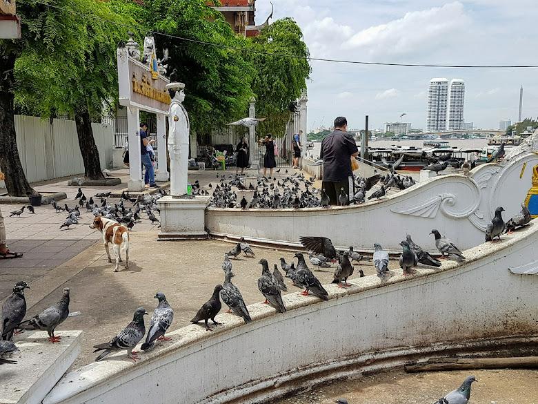 金鐘寺的碼頭,一堆鴿子