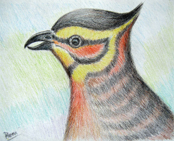 Color Pencil Drawing of Bulbul!