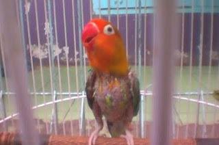 Burung Lovebird - Mabungnya Burung Lovebird yang Membutuhkan Protein yang Banyak - Penanganan Burung Lovebird yang Mabung / Molting / Rontok Bulunya