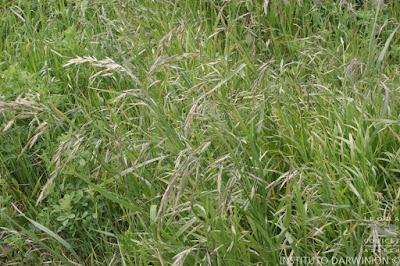 Cebadilla criolla (Bromus catharticus)