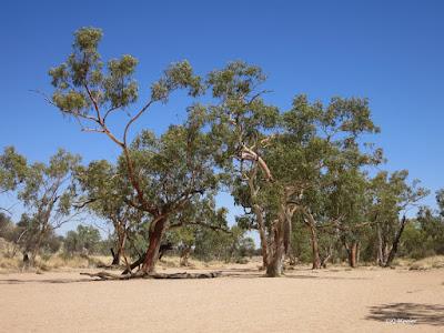 river red gum, Eucalyptus cameldulensis