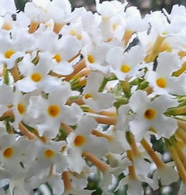 Illusztráció vershez, makro természetfotó májusi orgona frissen kinyílt bugavirágzatáról, a fehér szirmok között sárga porzók tölcséres virágokban.