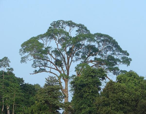 pokok tempat lebah madu tualang buat sarang