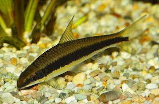 Ikan Siamese Algae Eaters untuk Aquascape