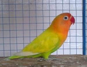 lovebird pasjo atau pastel ijo