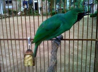 Semua Macam Jenis Burung Cucak Ijo Lengkap dengan Gambar, Berbagai Macam Jenis Burung Cucak Ijo Lengkap Dengan Gambar, Jenis-jenis Burung Cucak Ijo / Cucak Hijau Disertai Gambar