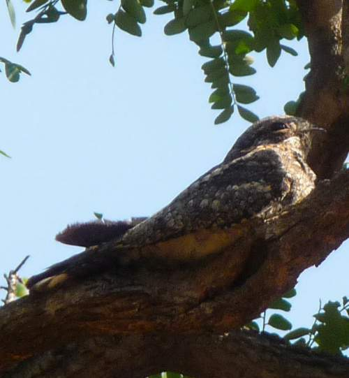 Indian birds - Grey nightjar - Caprimulgus jotaka