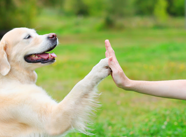 A beautiful Golden Retriever gives his paw to his owner