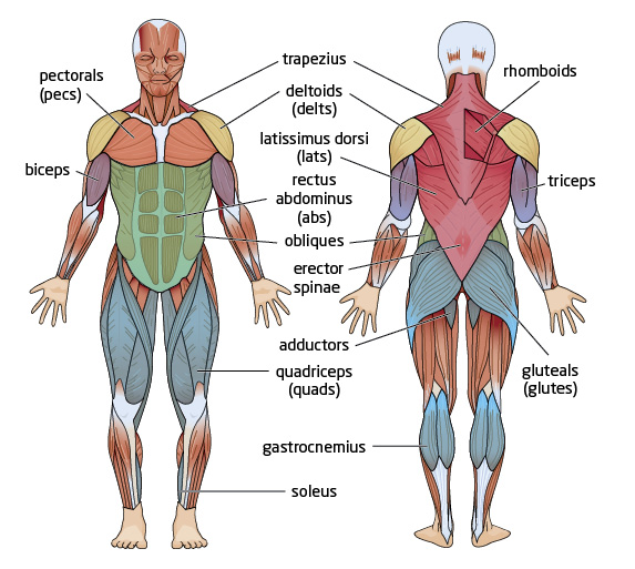 Kinesiology of  Muscle Groups