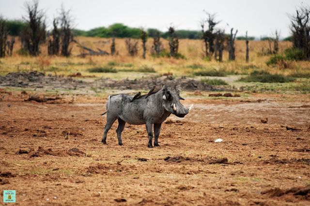 Warthog en Moremi, Botswana
