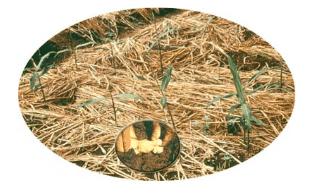 kumpulan cara menanam jahe