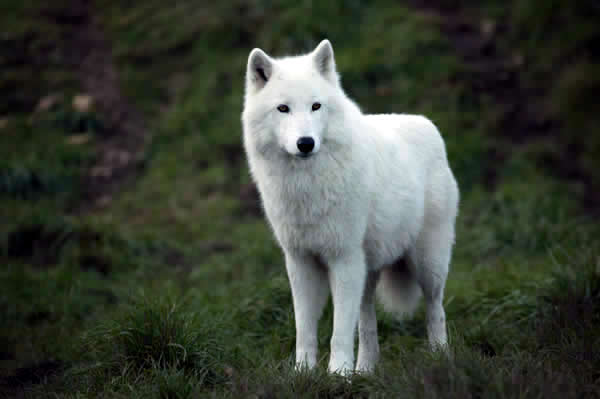 All Funny Cute Cool And Amazing Animals Cute White Wolf