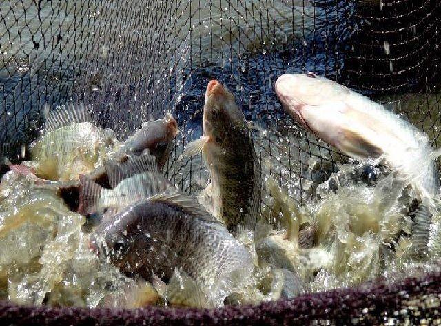 Panen dan Pasca Panen Ikan Gurami