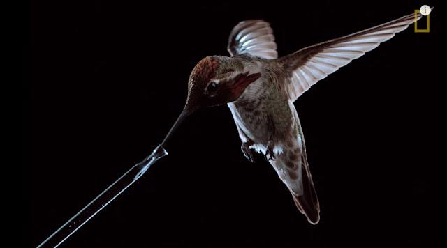 la-vida-de-un-colibri-en-camara-lenta
