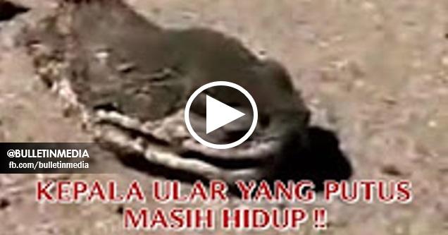 "[VIDEO] Aneh Tapi Nyata  ""KEPALA ULAR YANG PUTUS MASIH HIDUP"" SUBHANALLAH !!"