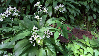 Bear's Garlic or wild garlic (Allium ursinum) along the trail.