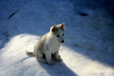 Husky puppy in Lapland