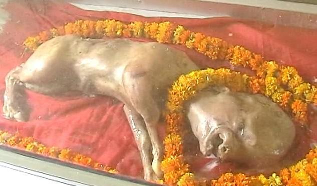 Hewan Berkepala Manusia Ini Diklaim Sebagai Tuhan Oleh Warga Di India