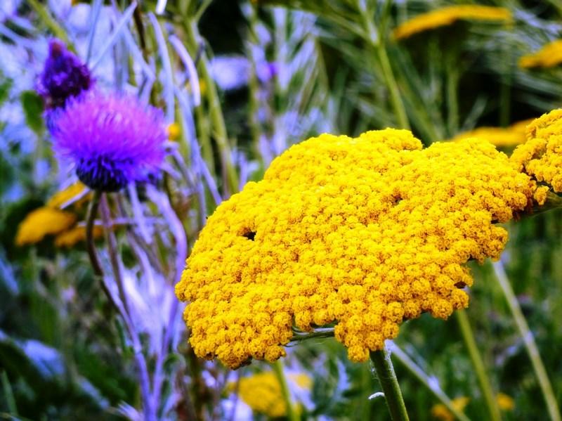 flor amarilla de achillea filipendulina