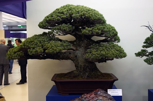 Expensive Bonsai tree on display at Taikan-ten Bonsai exhibition in Kyoto