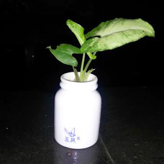 Tanaman syngonium Podophyllum dalam pot mini