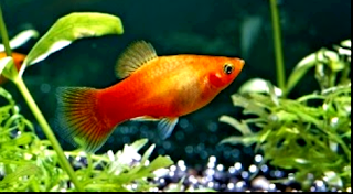 Harga ikan platy berbagai jenis lengkap