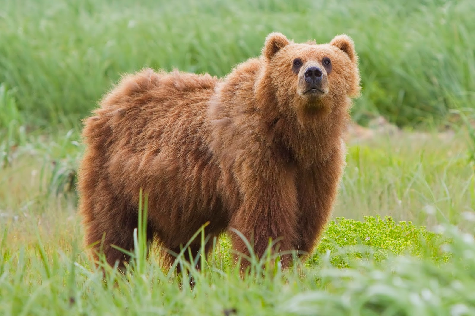 Mammals Animals: Kodiak bear