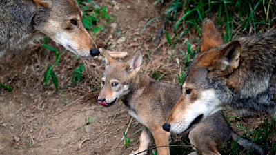 Red Wolf Headline Hunters