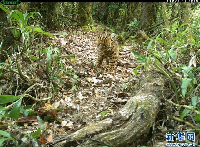 30 éve nem látott macskafélét fotóztak Kínában