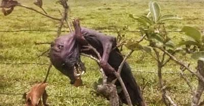 Foto de supuesto chupacabras en México es similar a una captada en Venezuela