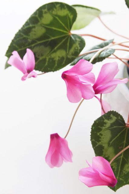 cyclamen flowers, pink cyclamen, Houseplants, Heart Shaped Leaves, Anne Butera, My Giant Strawberry