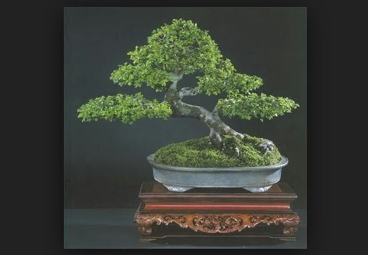 Bonsai Elm China Juara