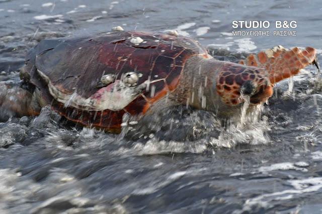 Ακόμα μια άτυχη θαλάσσια χελώνα στην Αργολίδα (βίντεο)