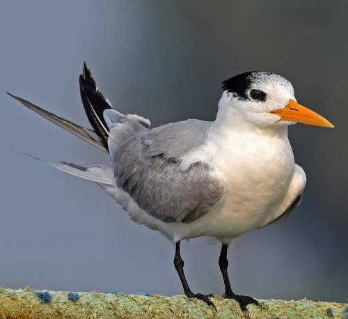 Indian bird - Picture of Lesser crested tern - Thalasseus bengalensis adult